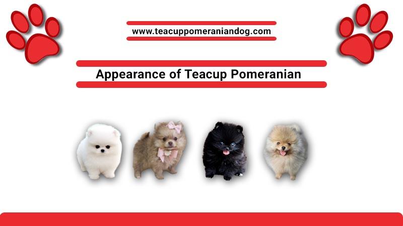 Appearance of Teacup Pomeranian