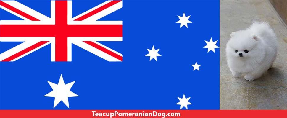 Australian Teacup Pomeranian