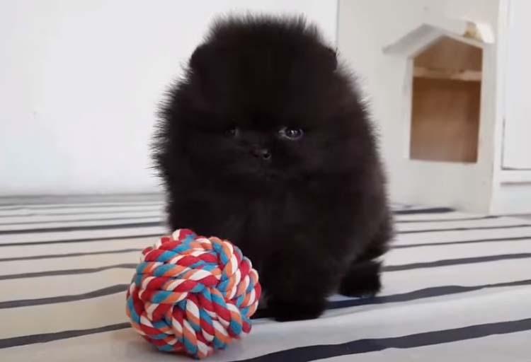Black Teacup Pomeranian Wallpaper
