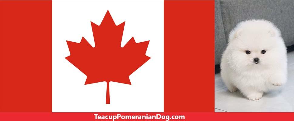 Canada teacup pomeranian