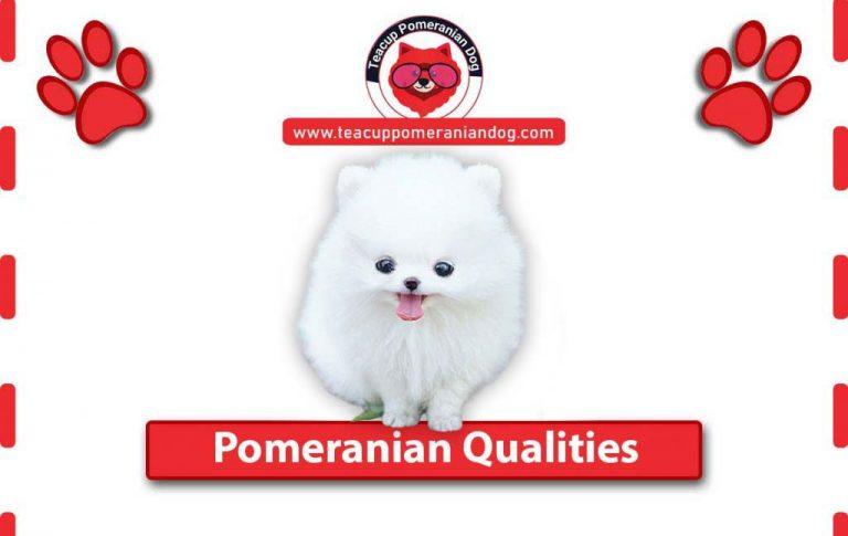 Teacup Pomeranian Qualities you should know !