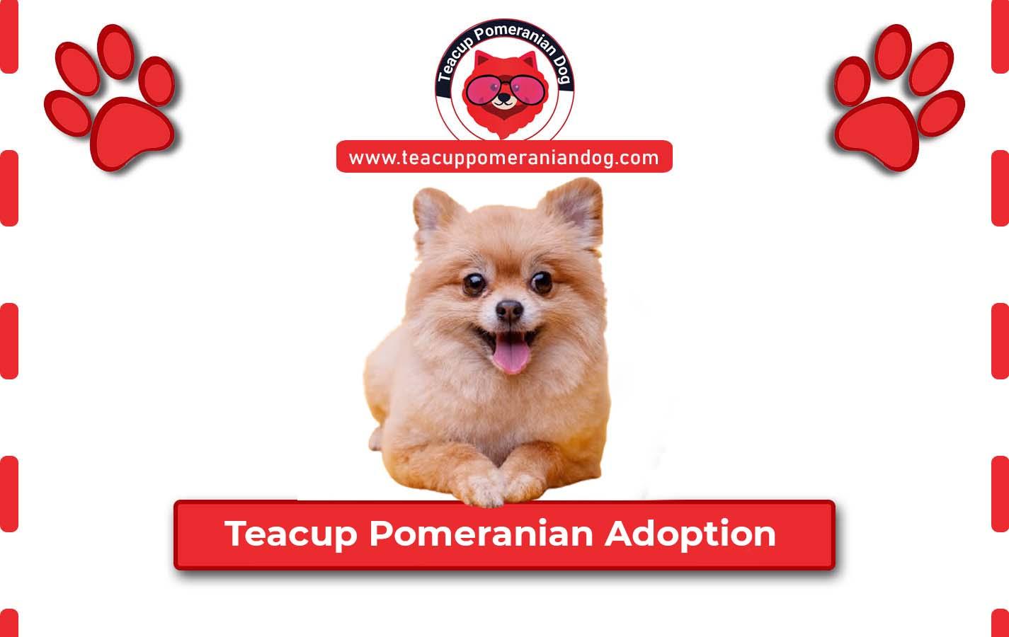 Teacup Pomeranian Adoption