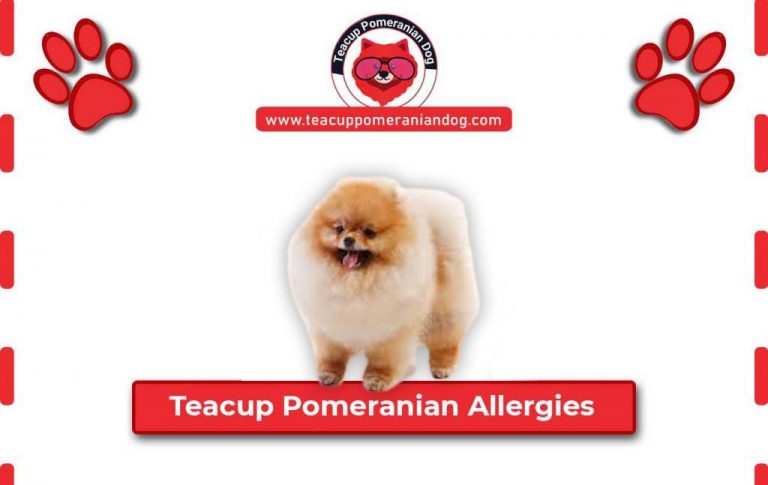 Common Allergies found in Teacup Pomeranian dogs