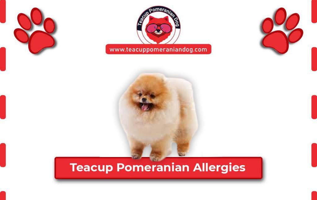 Teacup Pomeranian Allergies
