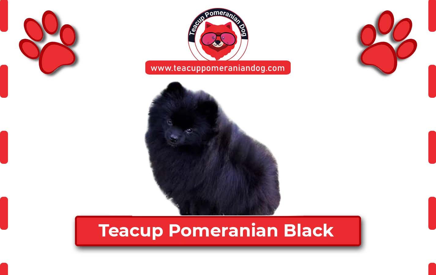 Teacup Pomeranian Black