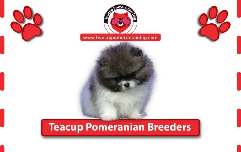 The Best Teacup Pomeranian Breeders all over the World