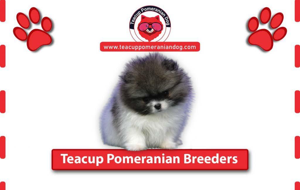 Teacup-Pomeranian-Breeders1