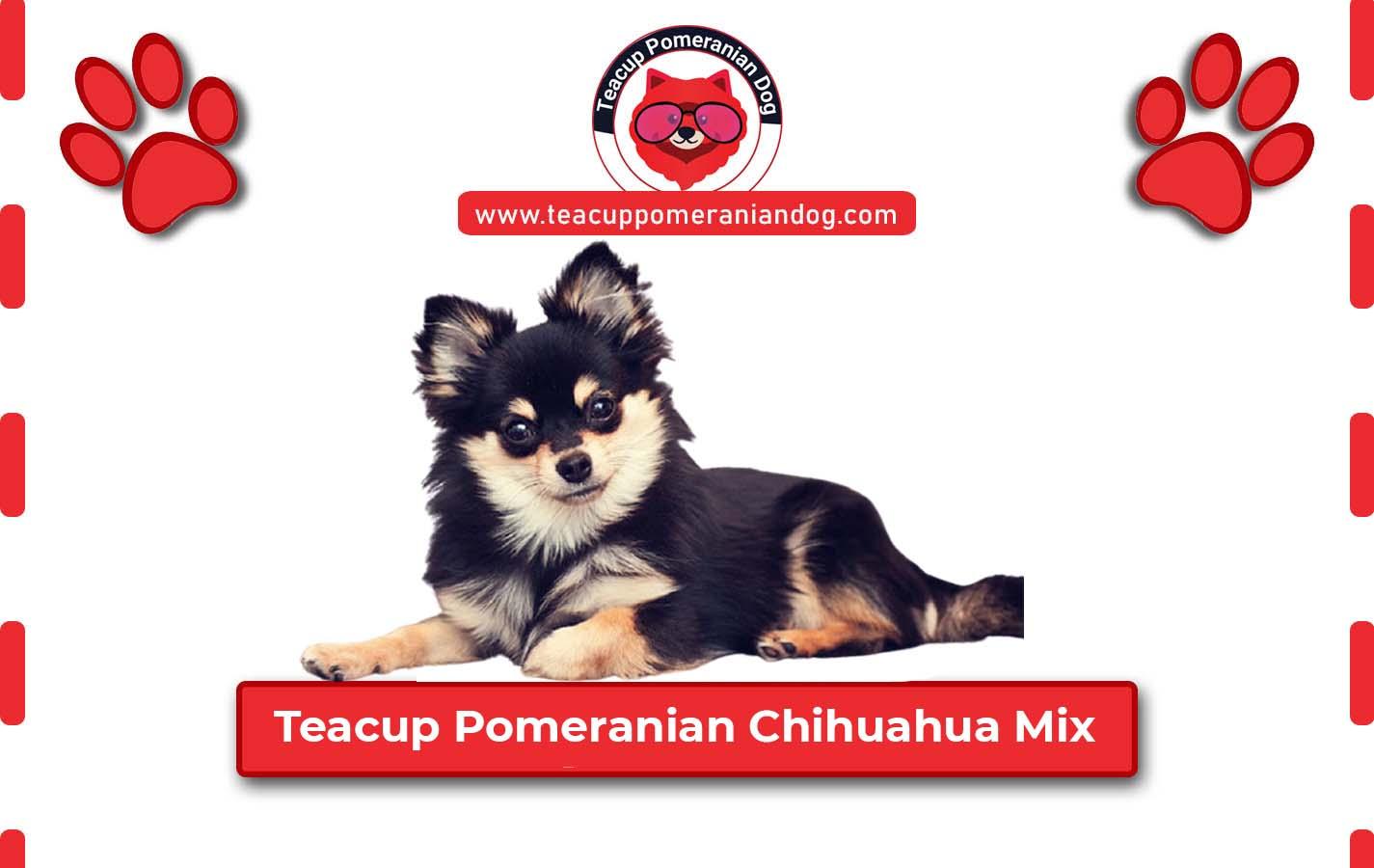 Teacup Pomeranian Chihuahua Mix