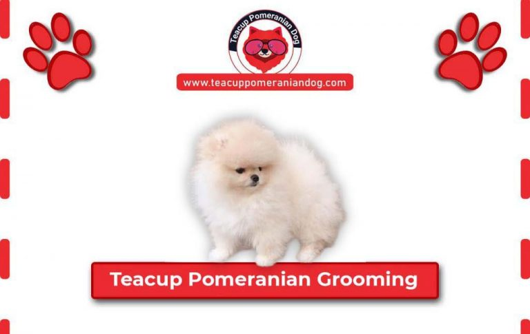 Step by Step Teacup Pomeranian Grooming Guide