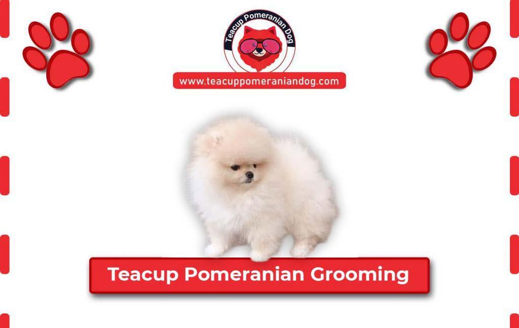 Teacup Pomeranian-Grooming