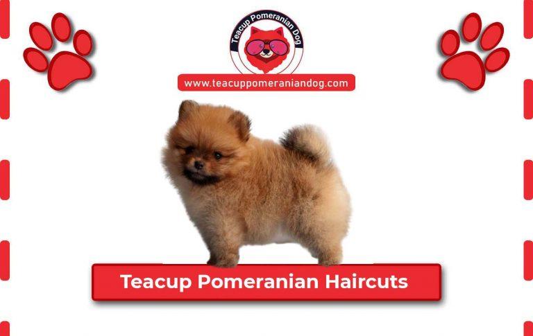23 Teacup Pomeranian Haircuts Ideas