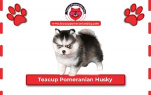 Read more about the article Teacup Pomeranian Husky – 10 Amazing Things You Should know About