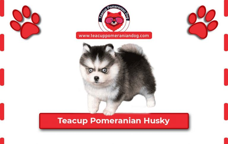 Teacup Pomeranian Husky – 10 Amazing Things You Should know About