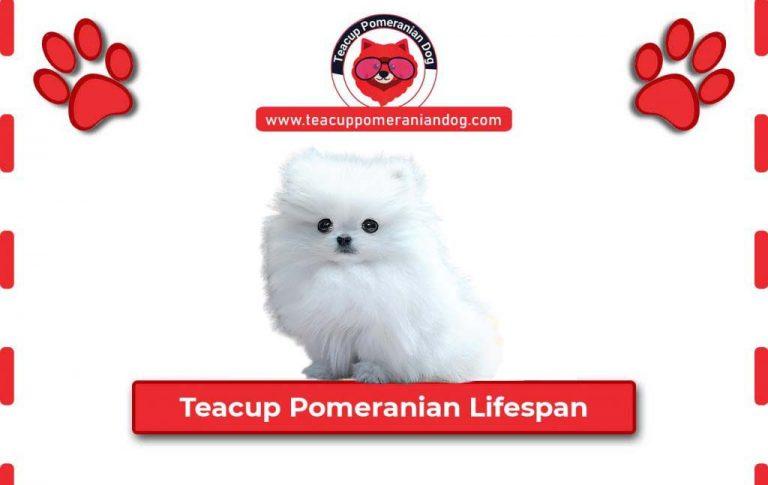 Teacup Pomeranian Lifespan – Life Expectancy