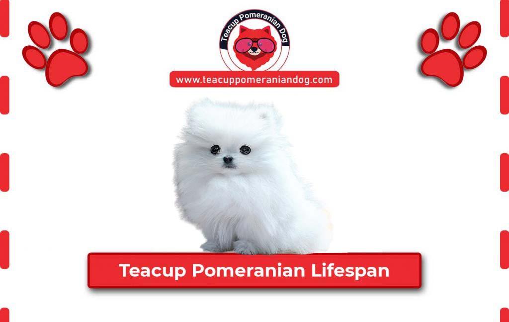 Teacup-Pomeranian-Lifespan1