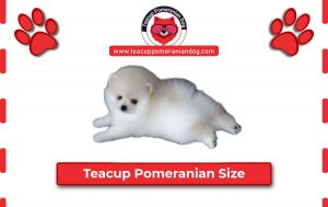 Read more about the article Teacup Pomeranian Size Guide