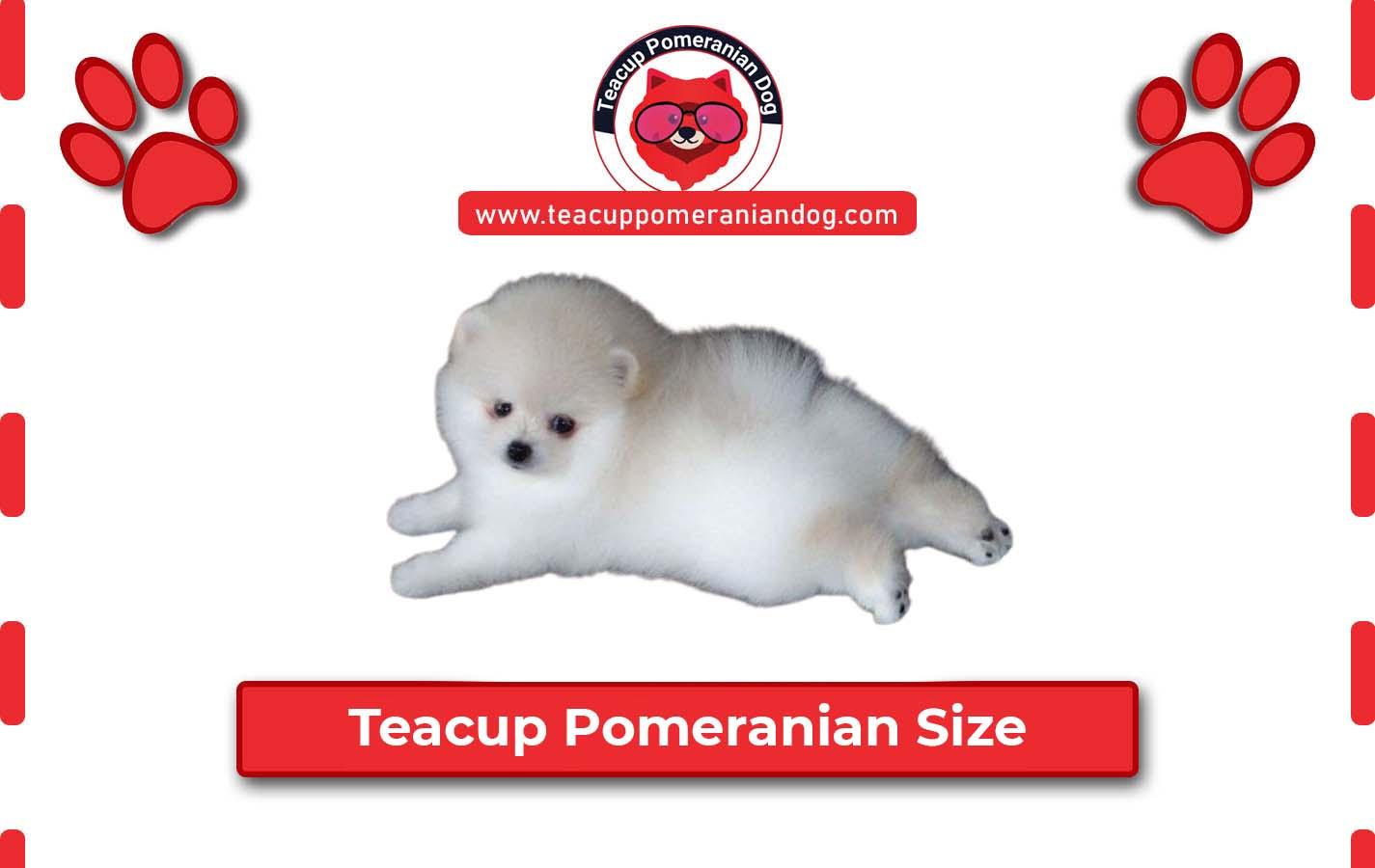 Teacup Pomeranian Size