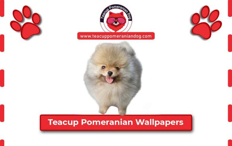 Beautiful Teacup Pomeranian Puppy wallpapers