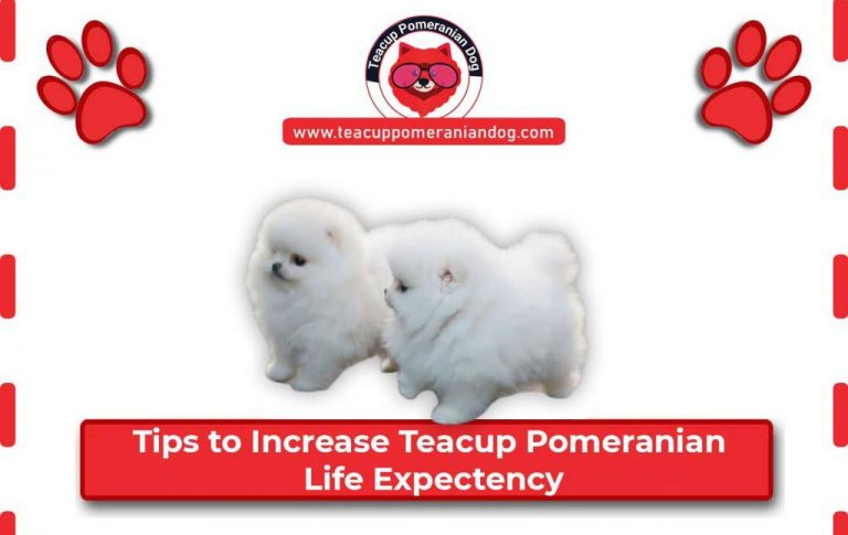 How to increase Teacup Pomeranian dog life expectancy? 6 Tips