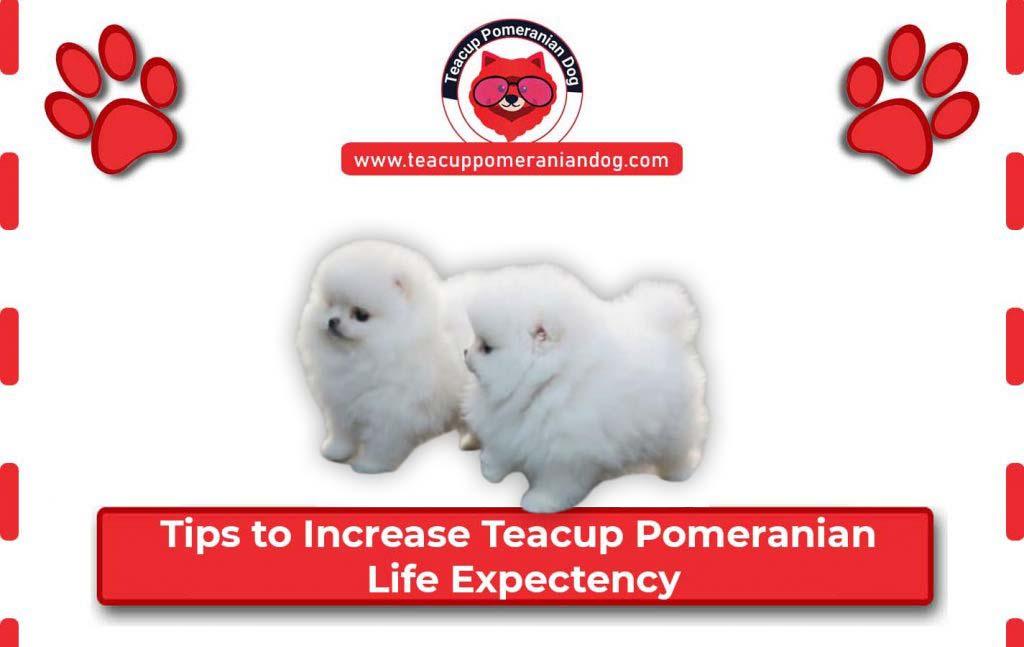 Tips-to-increase-Teacup-Pomeranian-Life-Expectency1