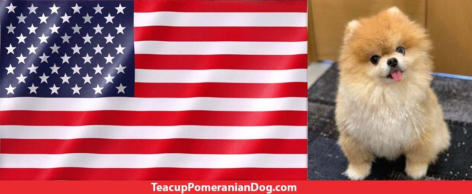 USA Teacup Pomeranian