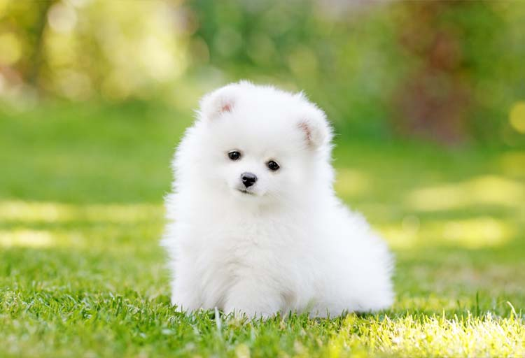 White Teacup Pomeranian Wallpaper