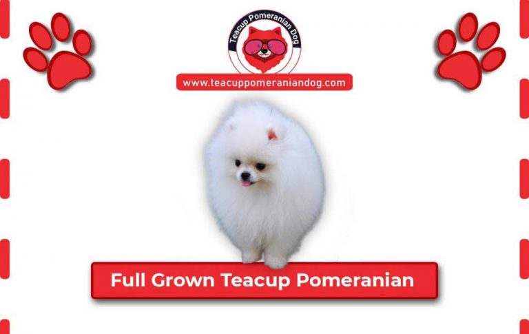Full Grown Adult Teacup Pomeranian – Young to Adult look Transformation