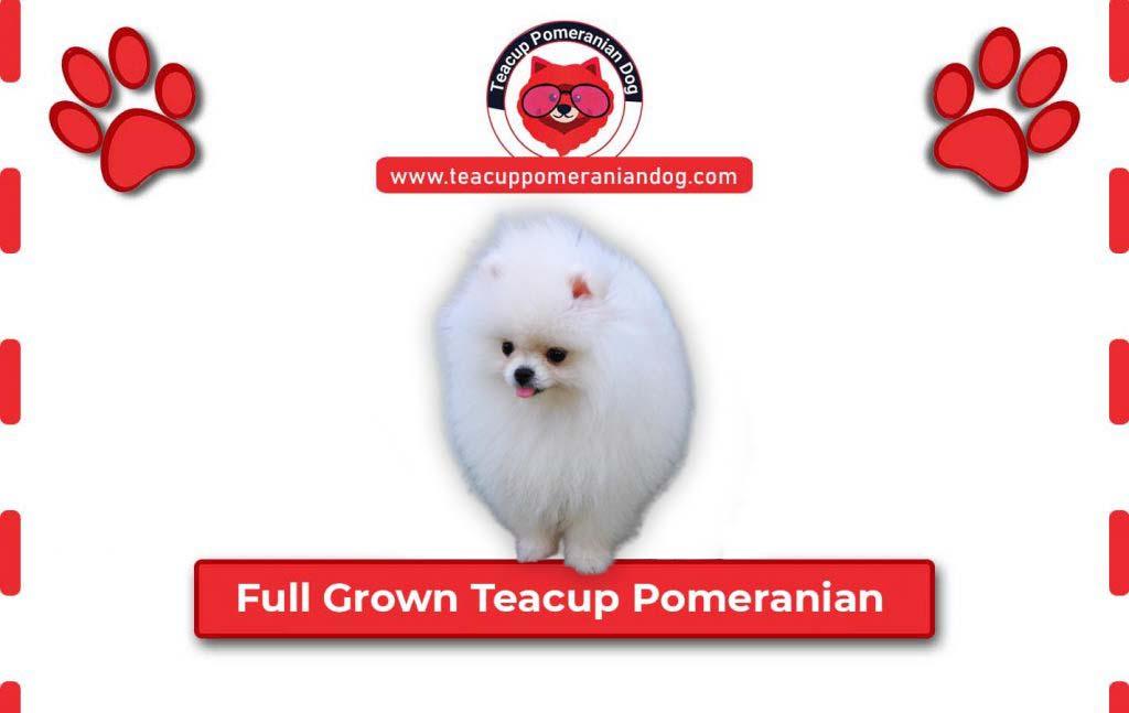 full-grown-teacup-pomeranian1