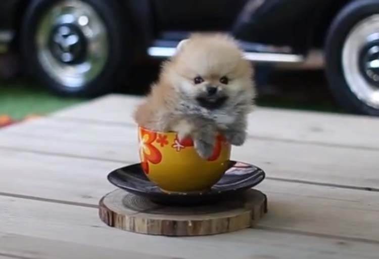 orange Sable Teacup Pomeranian wallpaper