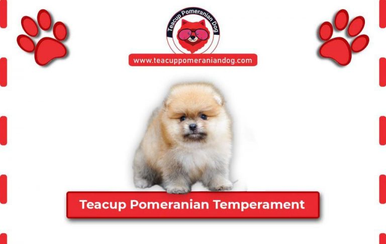 What Teacup Pomeranian Temperament is like ? – Complete Guide