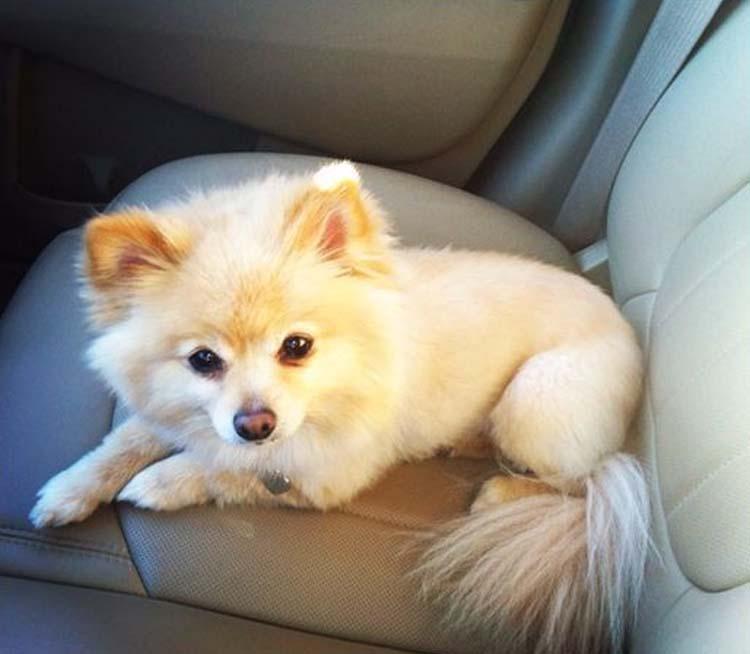 white fox with white tail