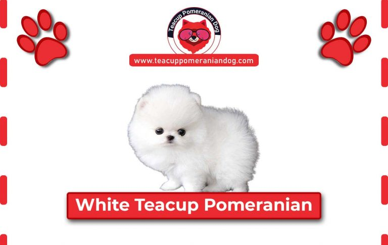 White Teacup Pomeranian Complete details