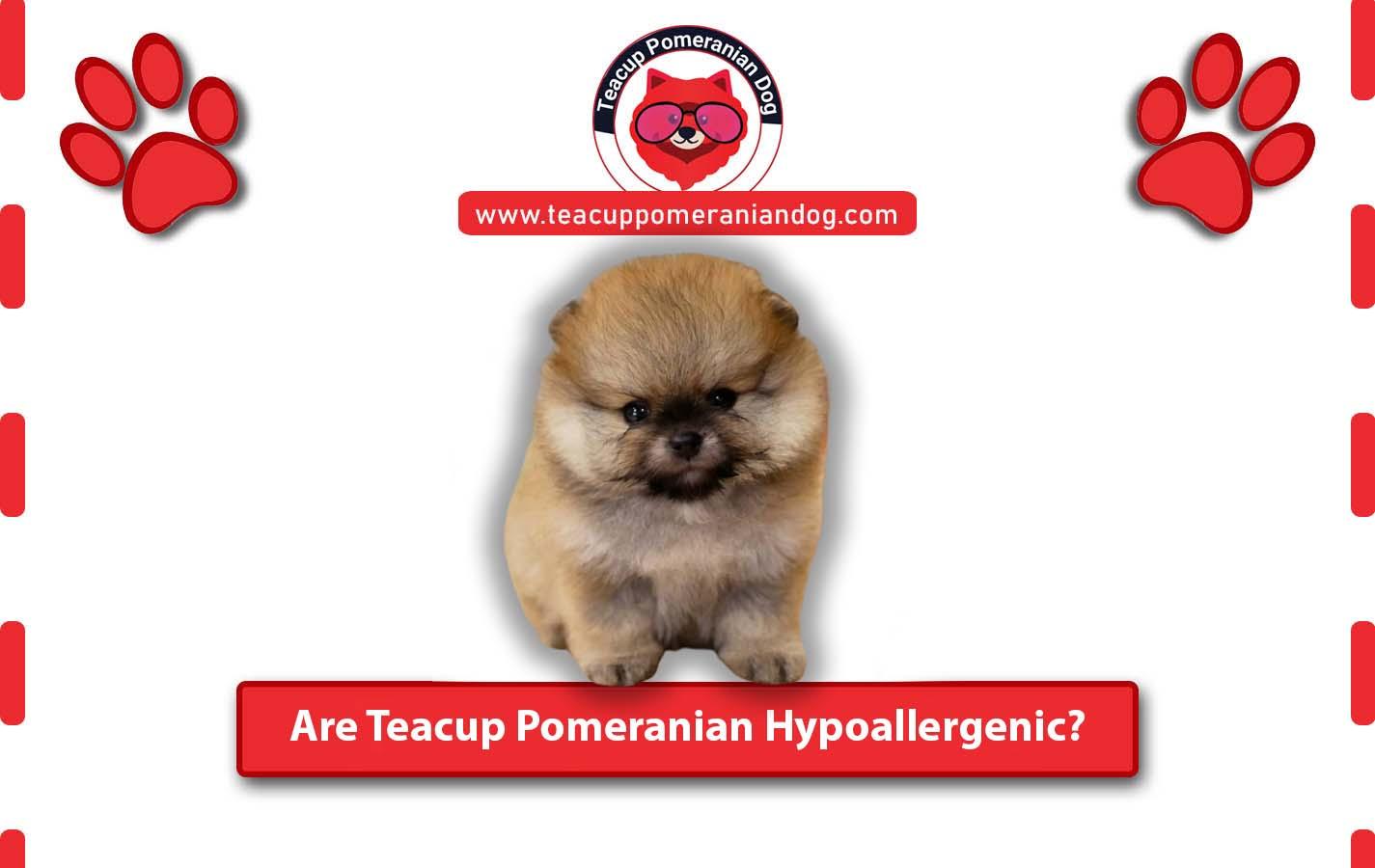 Are Teacup Pomeranian Hypoallergenic