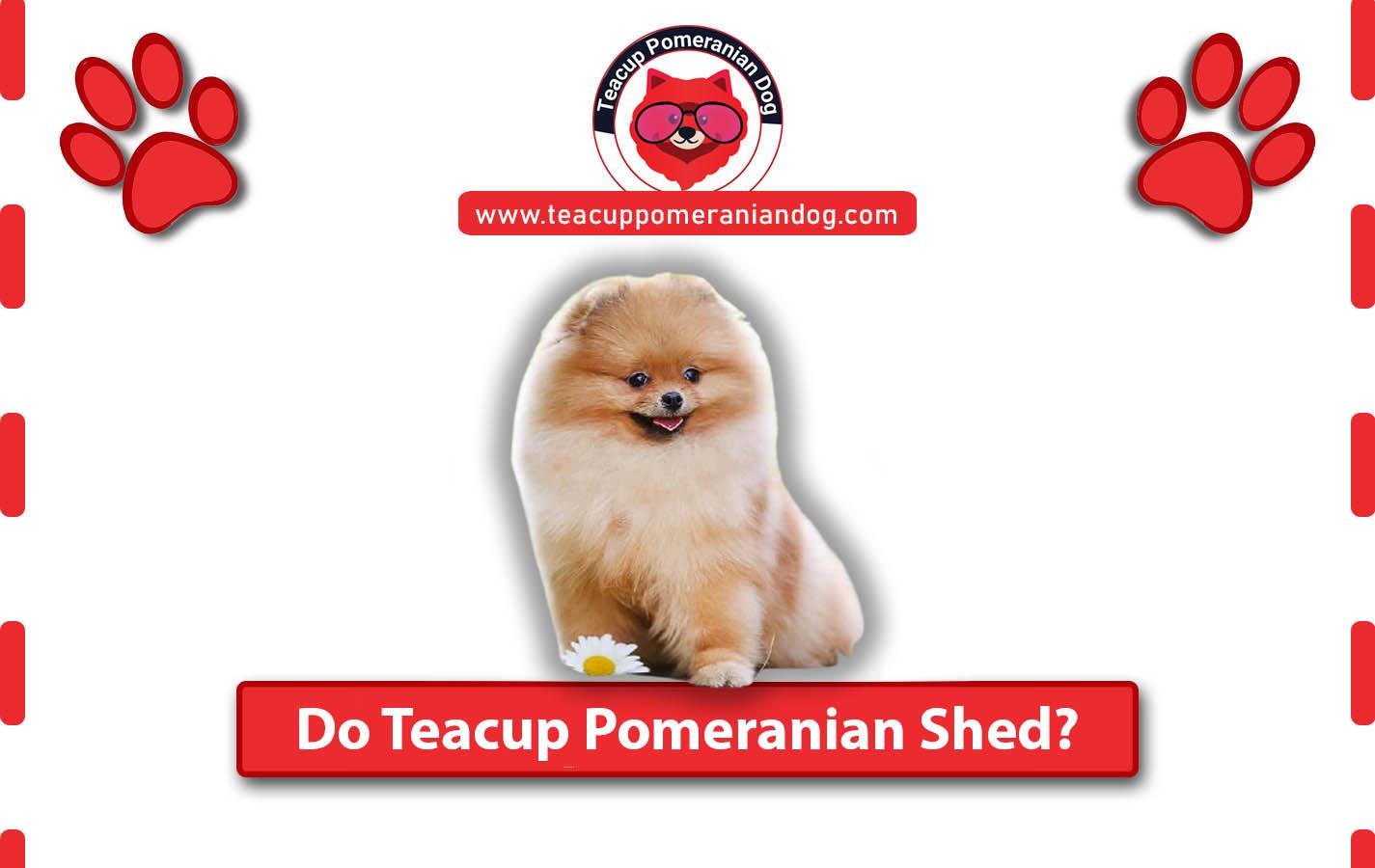 Do Teacup Pomeranian Shed