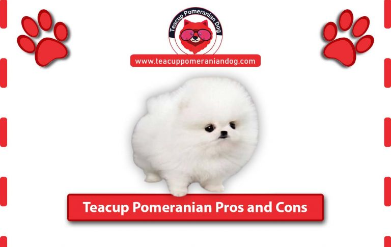 Teacup Pomeranian Pros and Cons