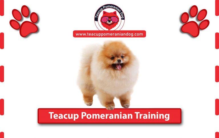 Teacup Pomeranian Training tips