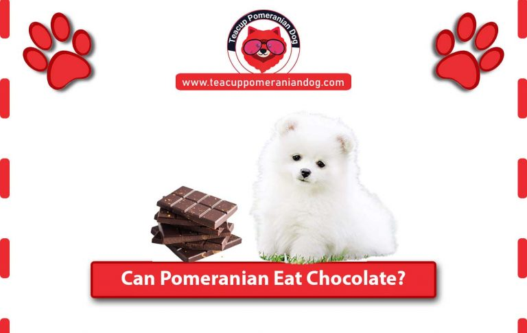 Can Pomeranian Eat Chocolate? Dangers of Chocolate for Dogs